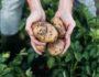 Чем вредна для организма зеленая картошка