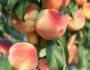 Что будет, если кушать персик каждый день